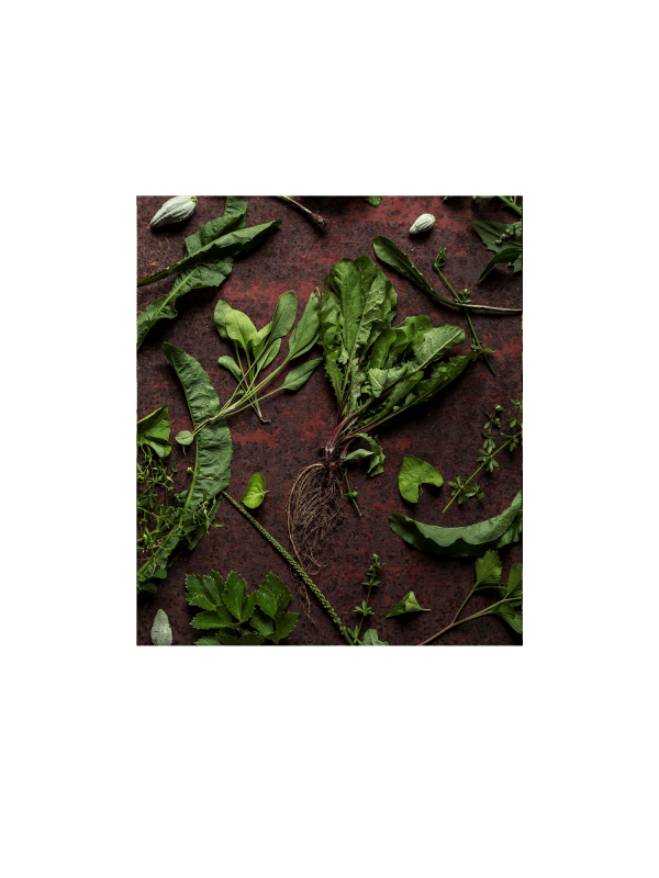 Webinaire sur la cueillette des plantes sauvages – mai (visionnement en différé)